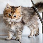 Kitten Preventive Care